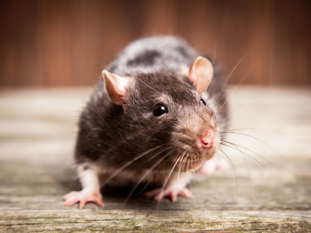 Run Those Rodents Out of Your Home